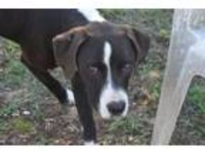 Adopt CYNDER a Great Dane, Mixed Breed