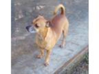 Adopt Fred a Red/Golden/Orange/Chestnut - with White Jack Russell Terrier /