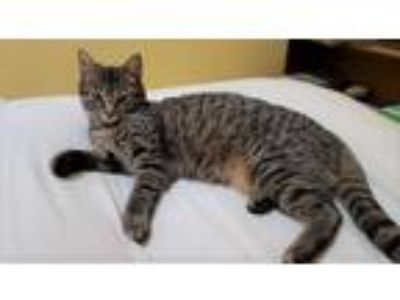 Adopt Noel a Gray, Blue or Silver Tabby Domestic Shorthair (short coat) cat in