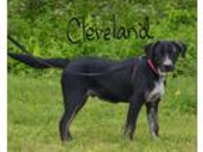 Adopt Cleveland a Black - with White Blue Heeler / Mixed dog in Lebanon