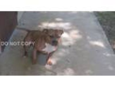 Adopt Mallory a Brown/Chocolate - with White Pit Bull Terrier / Mixed dog in