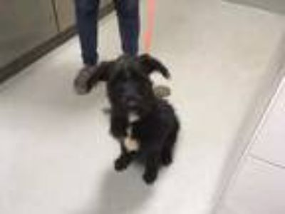 Adopt Benji 726-19 a Black Schnauzer (Standard) / Mixed dog in Cumming