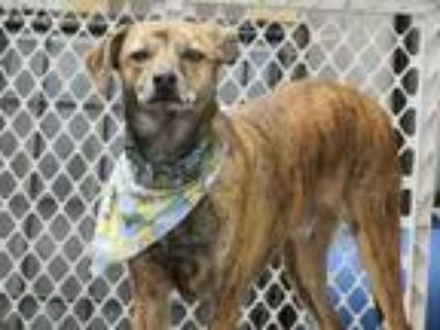 Adopt Pete a Brindle Catahoula Leopard Dog / Mixed dog in Columbia Heights
