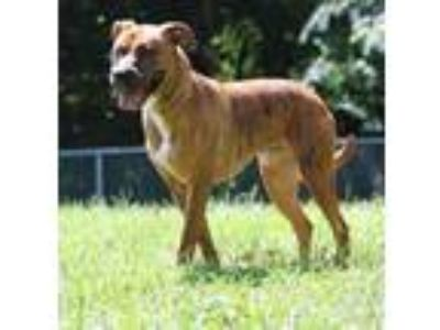 Adopt Zeke a Brindle American Pit Bull Terrier / Mixed dog in Yadkinville