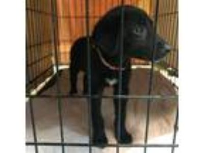Adopt Rain a Black Labrador Retriever
