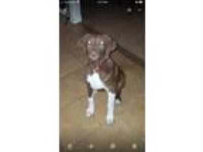 Adopt Buddy a Brown/Chocolate - with White Labrador Retriever / Great Pyrenees /