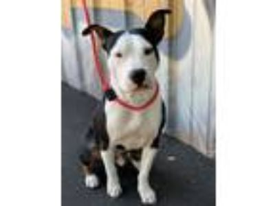 Adopt HUEY a Pit Bull Terrier