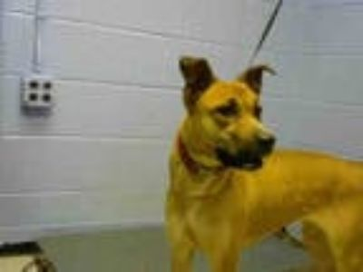 Adopt CHANCE a Brown/Chocolate German Shepherd Dog / Labrador Retriever / Mixed