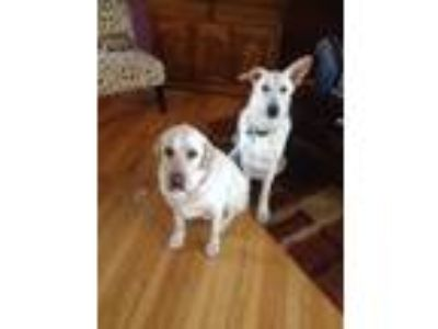 Adopt Bentley a White - with Tan, Yellow or Fawn Labrador Retriever dog in
