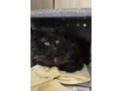 Adopt ROLAND a All Black Domestic Longhair / Mixed (long coat) cat in Fruit