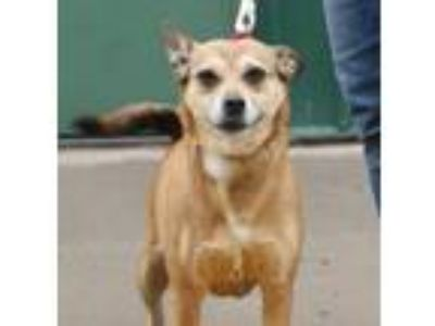 Adopt Rescue Belinda a Tan/Yellow/Fawn - with White Feist / Mixed dog in