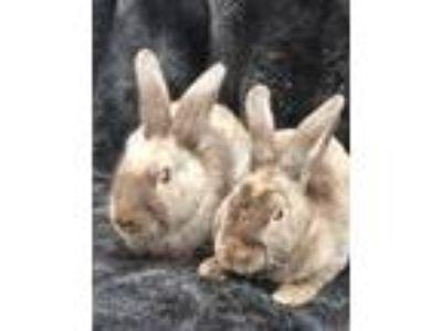 Adopt Mousse & Mulligan a Bunny Rabbit, Mini Rex