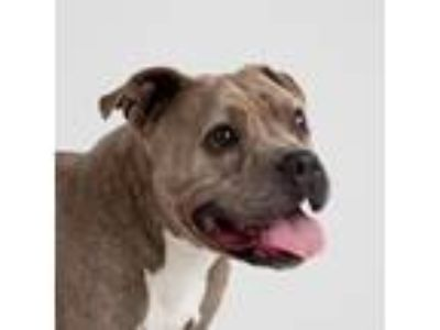 Adopt Marble a Gray/Blue/Silver/Salt & Pepper American Pit Bull Terrier / Mixed