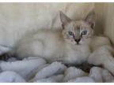 Adopt 0618-1904 a Domestic Short Hair, Siamese