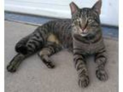 Adopt Felidae a Gray, Blue or Silver Tabby American Shorthair / Mixed cat in