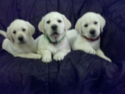 Labrador Retriever PUPPY FOR SALE ADN-113639 - White English Labrador Puppies