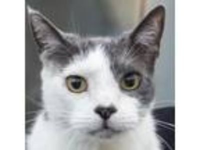 Adopt Felix a Gray or Blue Domestic Shorthair cat in Middletown, RI (25618859)