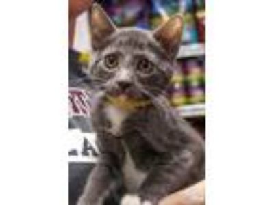 Adopt Zinnia a Gray or Blue (Mostly) Domestic Shorthair / Mixed (short coat) cat