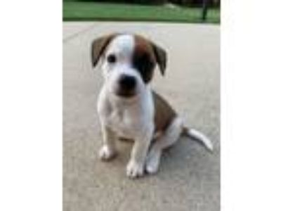 Adopt Forrest a Terrier, Boxer
