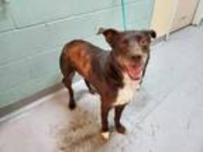 Adopt RUSTY a Brown/Chocolate - with White Border Collie / Pointer / Mixed dog