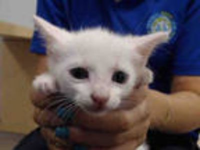 Adopt PAISLY a White Domestic Shorthair / Mixed (short coat) cat in Doral