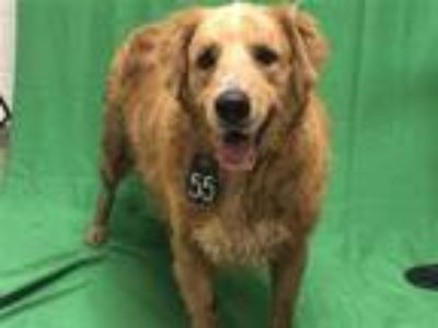 Adopt SHILOH a Red/Golden/Orange/Chestnut - with White Golden Retriever / Mixed