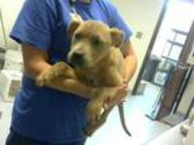 Adopt a Brown/Chocolate American Pit Bull Terrier / Mixed dog in Fayetteville