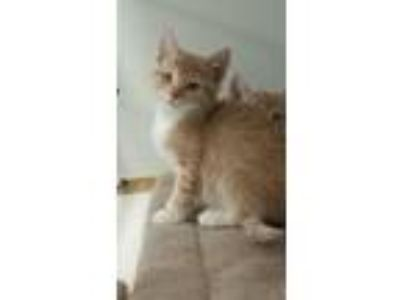 Adopt Tom a Domestic Short Hair