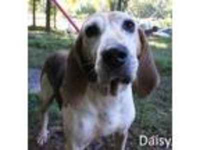 Adopt Daisy a Tan/Yellow/Fawn Hound (Unknown Type) / Treeing Walker Coonhound /