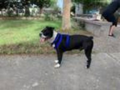 Adopt Lucas fka Goldie a Boston Terrier