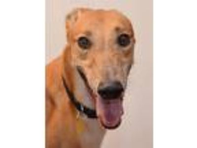 Adopt Charger a Greyhound