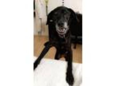 Adopt Scarlet a Black - with Gray or Silver Labrador Retriever dog in Orlando