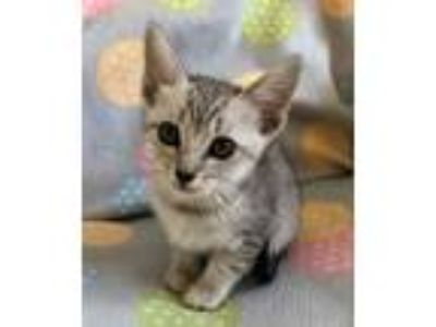 Adopt Malka a Gray, Blue or Silver Tabby Domestic Shorthair (short coat) cat in