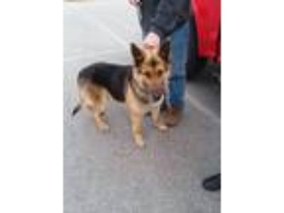 Adopt Max Sr-I1911 a German Shepherd Dog