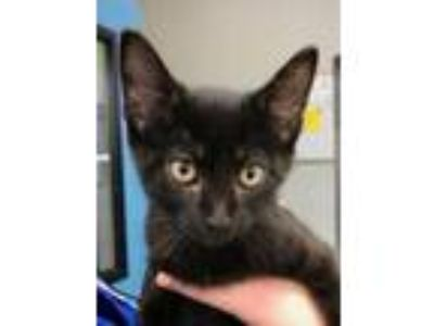 Adopt Justin a All Black Domestic Shorthair / Domestic Shorthair / Mixed cat in