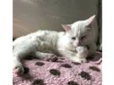 Adopt Snowy (aka BoBo) a White American Shorthair / Mixed cat in Westwood