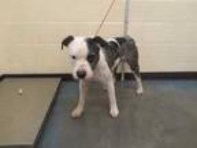 Adopt TURBO a Gray/Silver/Salt & Pepper - with White Mixed Breed (Medium) /