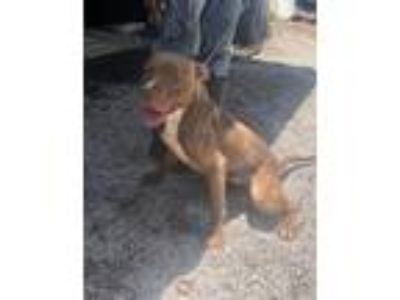 Adopt Donny a Pit Bull Terrier / Mixed dog in Albany, GA (23743292)