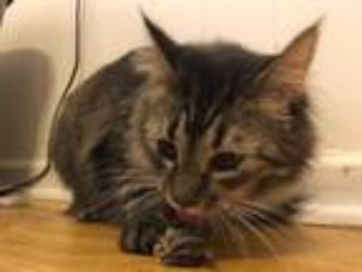 Adopt Gypsy (2) a Domestic Long Hair, Tabby