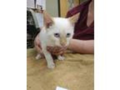 Adopt Reginald a White Siamese / Domestic Shorthair / Mixed (short coat) cat in