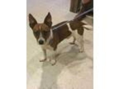 Adopt Duke a Brown/Chocolate Jack Russell Terrier / Mixed dog in Gainesville