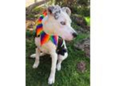 Adopt Skye a Cattle Dog, Pit Bull Terrier
