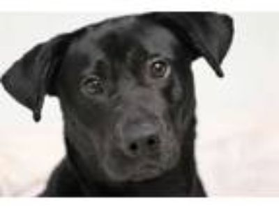 Adopt SAM a Black - with White Labrador Retriever / Mixed dog in Lacombe
