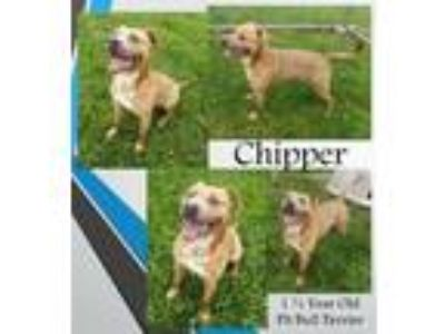 Adopt Chipper a Pit Bull Terrier