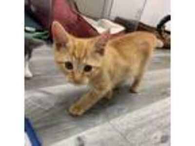 Adopt Tormund a Domestic Short Hair