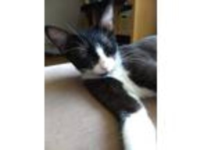 Adopt Piper a Black & White or Tuxedo American Shorthair (short coat) cat in