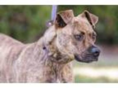 Adopt Tiger Lily (Trona) a Brindle Boxer / Shepherd (Unknown Type) / Mixed dog