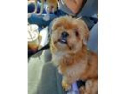 Adopt Chewy a Red/Golden/Orange/Chestnut Shih Tzu / Mixed dog in Salem