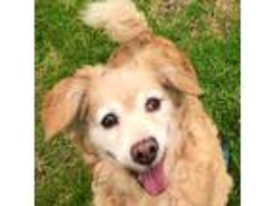 Adopt Ozzy a Tan/Yellow/Fawn Corgi / Cocker Spaniel / Mixed dog in Santa Monica