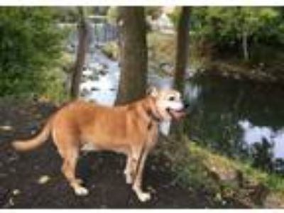 Adopt Brandy a Brown/Chocolate - with White Labrador Retriever / German Shepherd